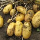 Семенной картофель Гранада
