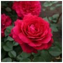 Бельвью (Bellevue), чайно-гибридная роза, Kordes