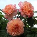 Барок (Barock), плетистая роза