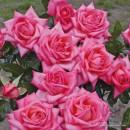 Веддинг Беллз (Wedding Bells), чайно-гибридная роза, Kordes