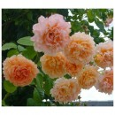 Полька (Polka), парковая роза в контейнере