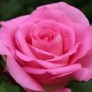 Беверли (Beverly), чайно-гибридная роза, Kordes