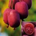 Актинидия аргута Пурпурная