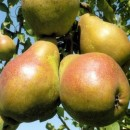 груша Яблунивская