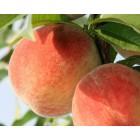 Персик и нектарин