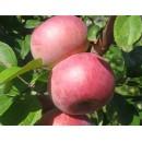 Яблоня Виста Белла (Vista Bella)
