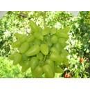 """виноград желто-зеленый суперранний """"Бажена"""""""