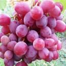 "виноград розовый ранний ""Кардишах"""