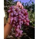 Виноград Персей