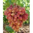 """виноград белый суперранний """"Преображение"""""""