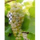Виноград  Загрей