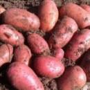 Семенной картофель Ред Леди