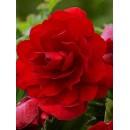Бегония double Scarlet (махровая красная), 1 клубень