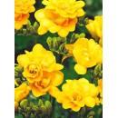 Фрезия махровая желтая (double yellow), 7 клубнелуковиц