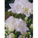 Фрезия махровая белая (double white), 7 клубнелуковиц