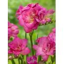Фрезия махровая розовая (double pink), 7 клубнелуковиц