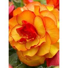 Бегония Picotee Yellow-Red (Пикоти Еллоу-Ред), 1 клубень