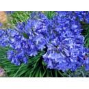 Агапантус Blue, 1 корневище