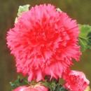 Бегония  Fimbriata pink (Фимбриата Пинк),1 клубень