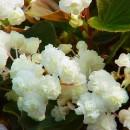 Бегония  Pendula Cascade whitet,1 клубень