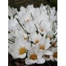 Крокус ботанический Ard Schenk (Ард Шенк), 5 луковиц в упаковке