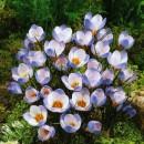 Крокус ботанический Blue Pearl (Блю Перл), 5 луковиц в упаковке