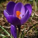 Крокус крупноцветковый Flower Record (Флавер Рэкорд), 5 луковиц в упаковке