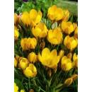 Крокус ботанический Romance (Романс), 5 луковиц в упаковке