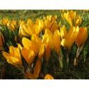 Крокус крупноцветковый Yellow (Еллоу), 5 луковиц в упаковке