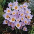 Крокус ботанический Firefly (Файрфлай), 5 луковиц в упаковке