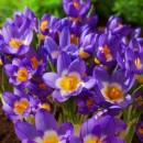 Крокус ботанический Sieberi Tricolor (Сайбери Триколор), 5 луковиц в упаковке
