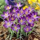 Крокус ботанический Whitewell Purple (Вайтвелл Перпл), 5 луковиц в упаковке