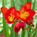 Фрезия простая красная (single red), 7 клубнелуковиц