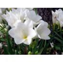 Фрезия простая белая (single white), 7 клубнелуковиц