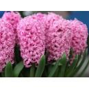 Гиацинт Pink Pearl (Пинк Перл), 2 луковицы в упаковке