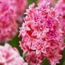 Гиацинт махровый Spring Beauty (Спринг Бьюти), 2 луковицы в упаковке