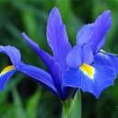 Ирис голландский Blue Magic (Блю Меджик), 5 луковиц в упаковке