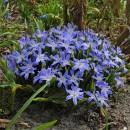 Хионодокса Luciliae (Люцилии голубой), 7 луковиц в упаковке
