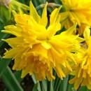 Нарцисс ботанический Rip Van Winkle (Рип Ван Винкл), 3 луковицы в упаковке