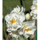 Нарцисс  Bridal Crown (Бридал Кроун ), 3 луковицы в упаковке
