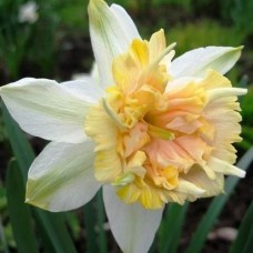 Нарцисс махровый Petit Four (Петит Фоу), 1 луковица в упаковке