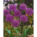 Лук декоративный Purple Sensation (Перпл Сенсейшн), 3 луковицы в упаковке