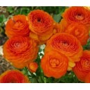 Ранункулюс (Лютик) оранжевый 5 клубней