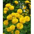Ранункулюс (Лютик) желтый 5 клубней