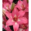 Лилия азиатская Розалинн 1 луковица
