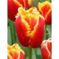 Тюльпан бахромчатый  Davenport (Давенпорт), 3 луковицы в упаковке