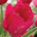 Тюльпан бахромчатый Бургунди Лейс, 3 луковицы в упаковке