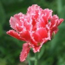 Тюльпан бахромчатый Crispion Sweet (Криспион Свит), 3 луковицы в упаковке