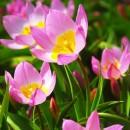 Тюльпан ботанический Baкeri Lilac Wonder (Бекери Лилак Вондер), 4 луковицы в упаковке