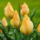Тюльпан ботанический Batalinii Bright Gem (Баталини Брайт Джем), 4 луковицы в упаковке